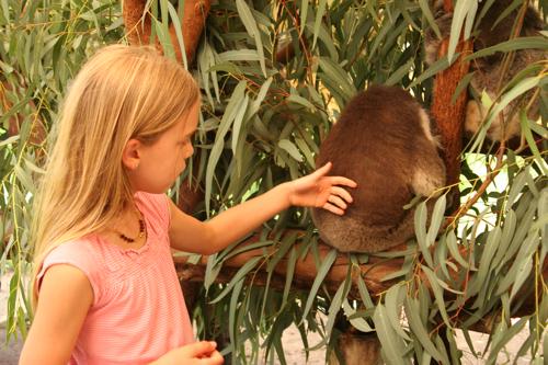 Koalaivy